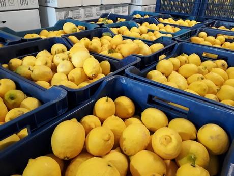 Successful harvest season of Greek organic citrus is imminent'